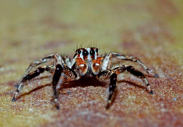 עכביש קפצן